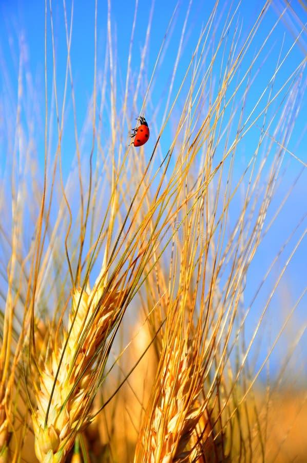 Поле и ladybug пшеницы в Италии стоковые фото