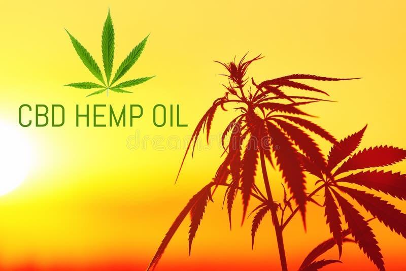 Поле конопли захода солнца Заводы марихуаны Выдержка конопли масла CBD, медицинская концепция стоковое изображение