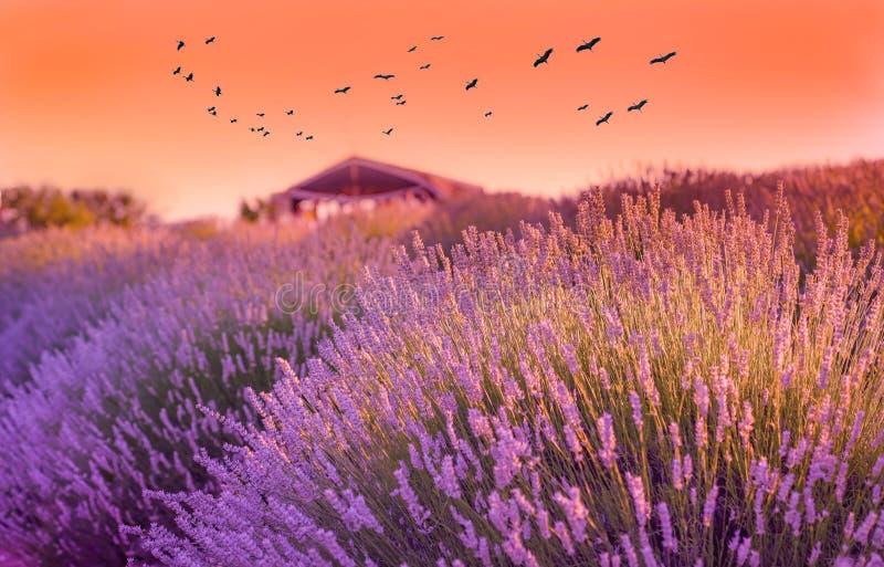 Поле лаванды в заходе солнца, хижина/коттедж в предпосылке и аисты в воздухе в деревне Kuyucak, Isparta, Турции стоковое фото rf