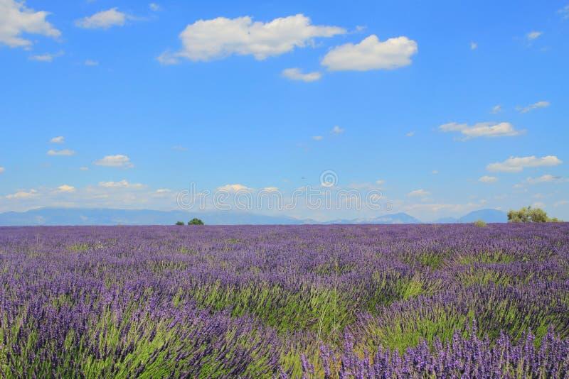 Поле лаванды, в Провансали, к югу от Франции стоковое фото rf