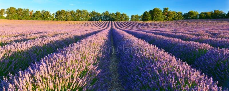 Поле лаванды в сельской местности лета, Провансали, Франции стоковые изображения