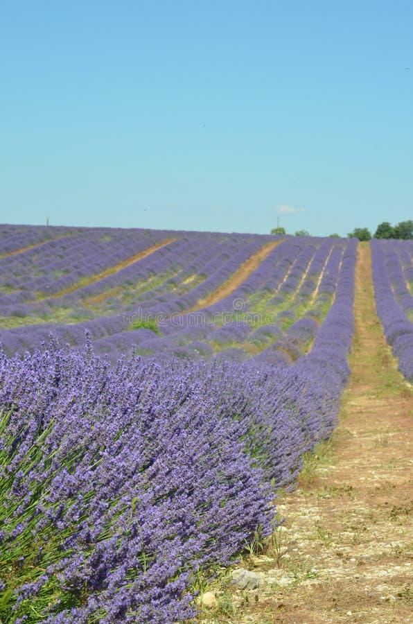 Поле лаванды сирени Зацветая фиолетовые душистые цветки лаванды стоковые фотографии rf
