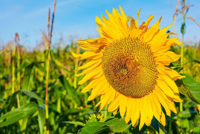 Поле лета аграрное с желтым солнцецветом стоковая фотография