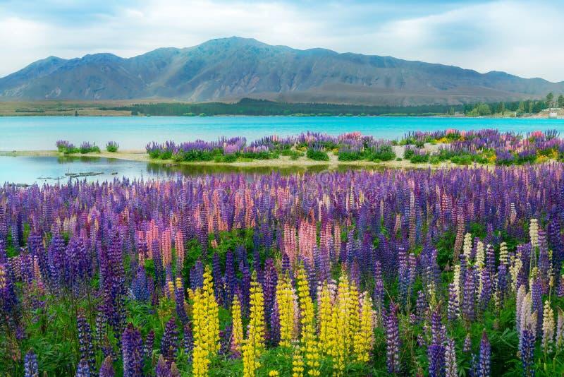 Поле люпина Tekapo озера в Новой Зеландии стоковые фотографии rf