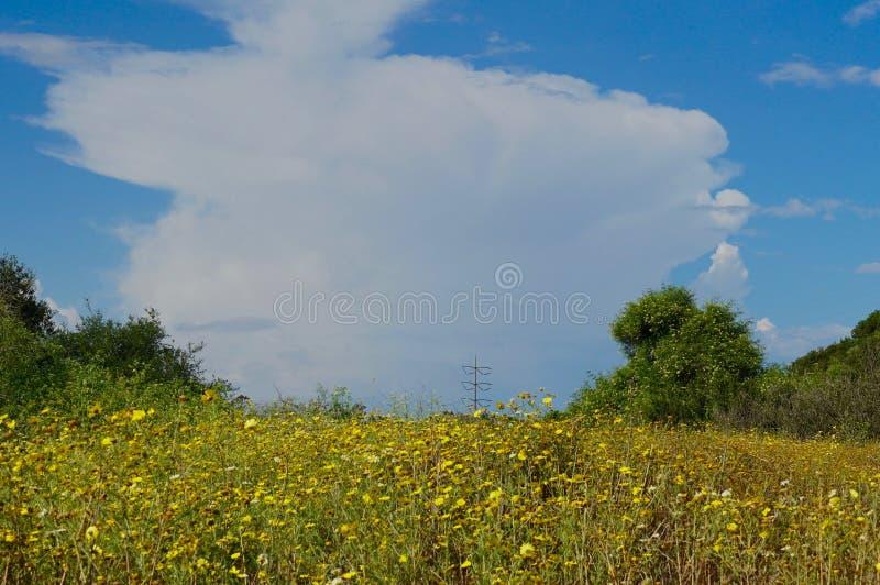Поле маргариток кроны с Thunderhead Cloudqq стоковое фото rf