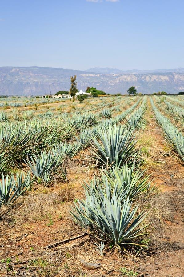 поле Мексика кактуса столетника стоковая фотография