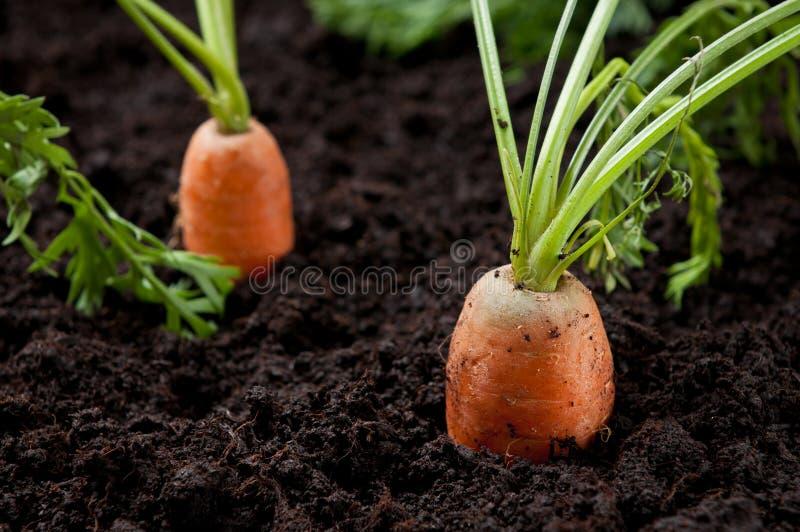 поле морковей стоковое фото rf