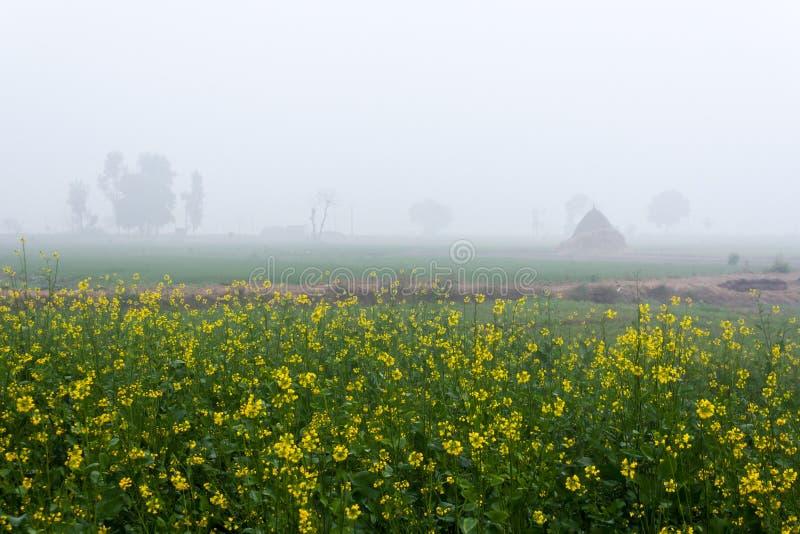 Поле мустарда в туманном утре в Пенджабе, Индии стоковая фотография rf