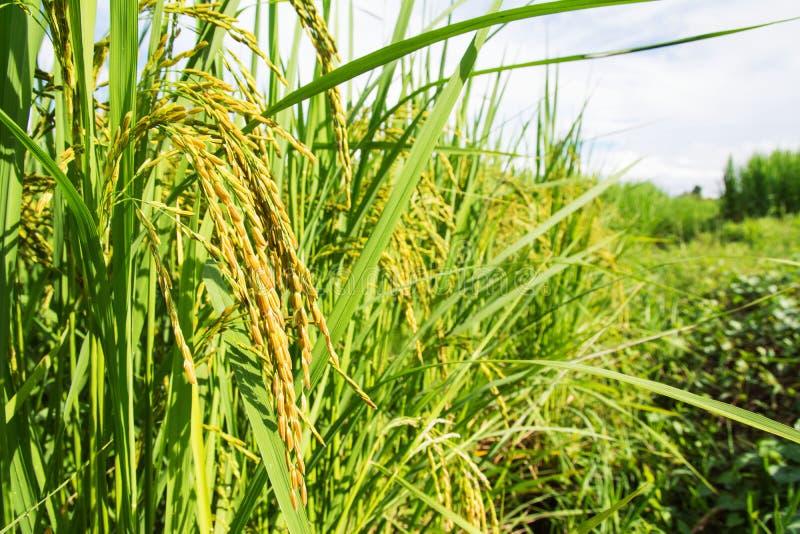 Поле неочищенных рисов стоковое фото rf