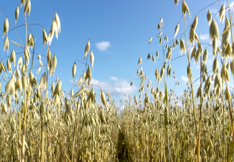 Поле овсов перед голубым небом в солнечном дне Сезон сбора стоковое фото