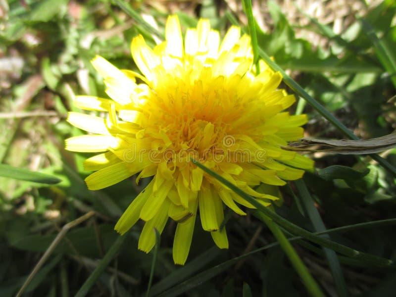 Поле одуванчика, желтый цвет растет везде в России стоковое изображение