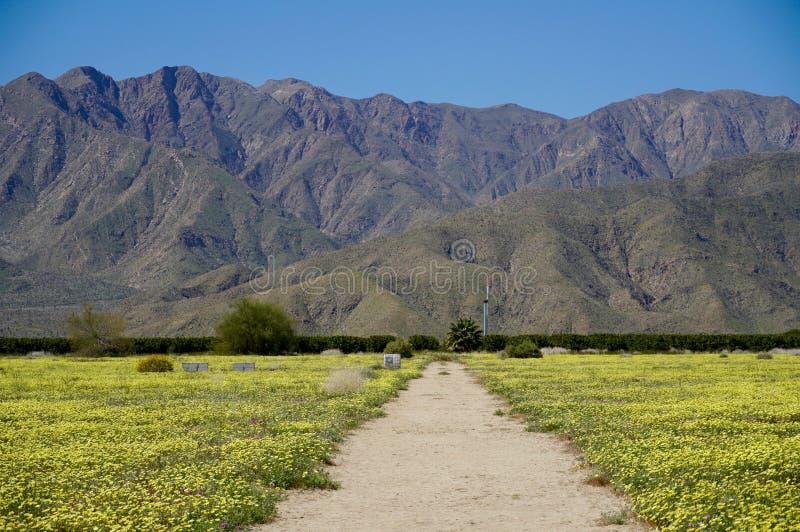Поле одуванчиков пустыни на Anza-Borrego стоковое изображение