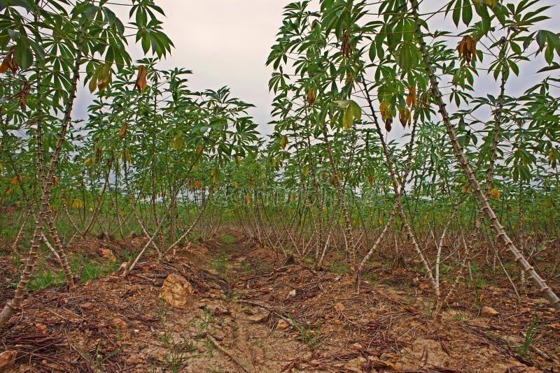 Поле продукции кассавы в rainfed области стоковая фотография