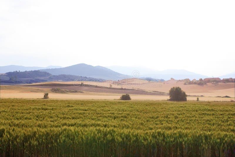 Поле пшеницы на заходе солнца стоковое фото rf