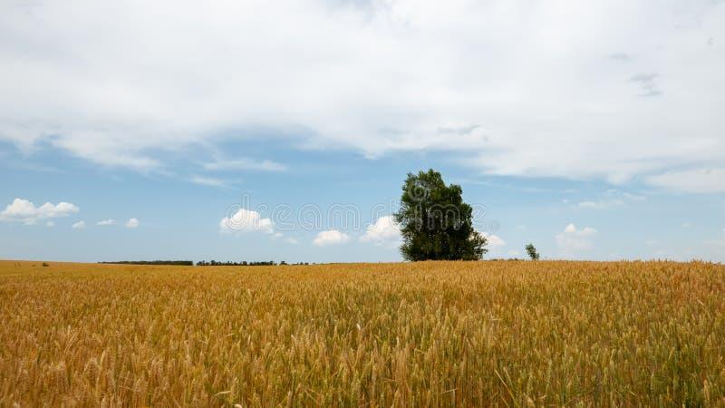 Поле пшеницы на ясный летний день стоковые изображения rf