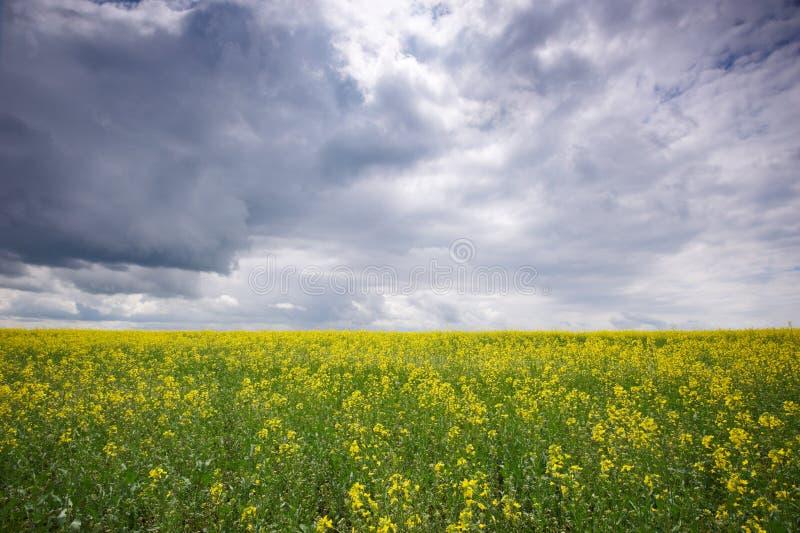 Поле рапса, зацветая канола цветки близко вверх лето рапса поля стоковое изображение rf