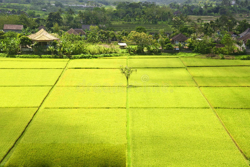 Поле риса Бали. стоковые фотографии rf