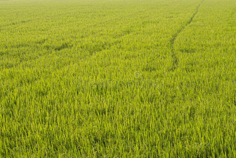 Поле риса во времени восхода солнца для предпосылки Рассвет на зеленом пшеничном поле стоковое фото rf