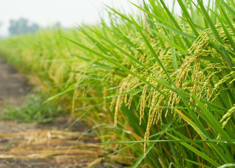 Поле риса в утре стоковые изображения rf