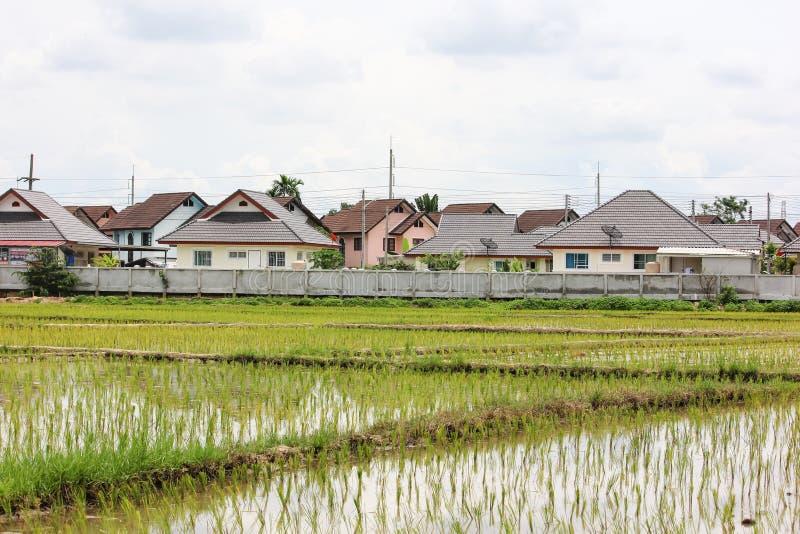 Поле риса около жилого массива стоковые изображения rf