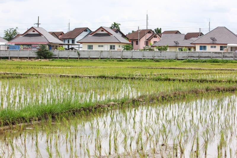 Поле риса около жилого массива стоковое изображение rf