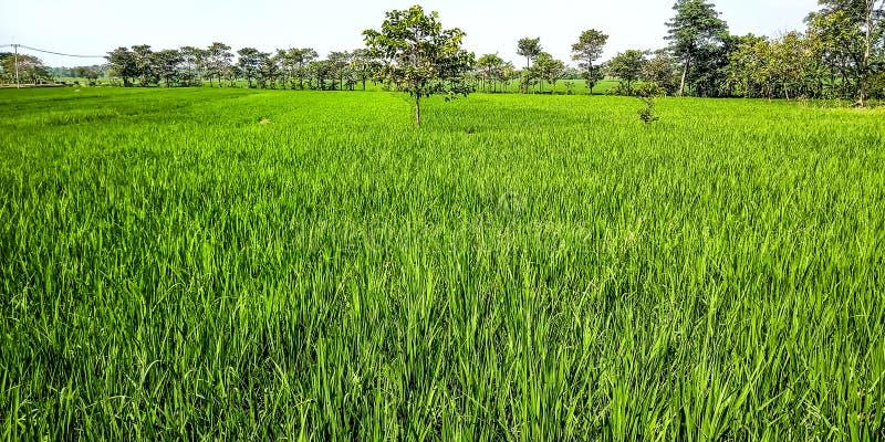Поле риса с деревом gempol в середине стоковая фотография