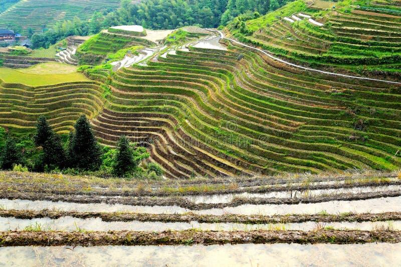 Поле риса террасы Longji стоковые изображения rf