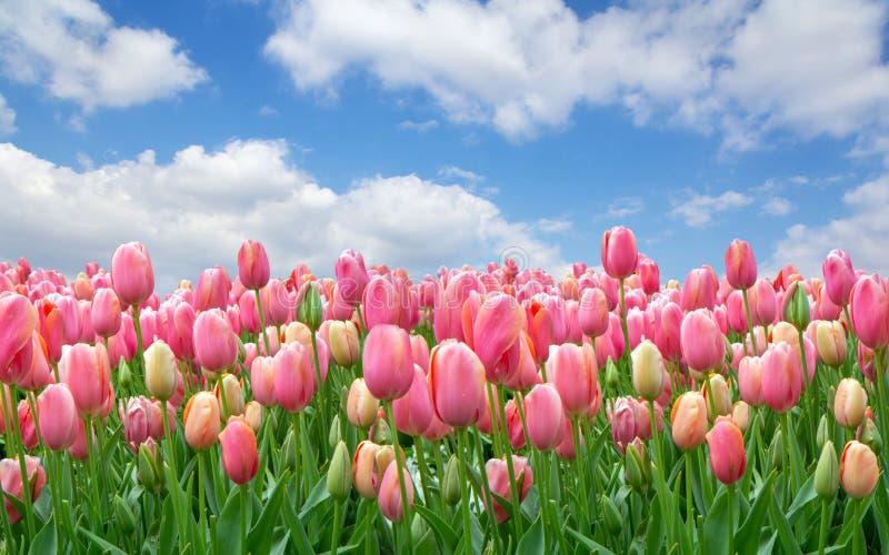 Поле розовых тюльпанов против ясного облачного неба стоковые изображения rf