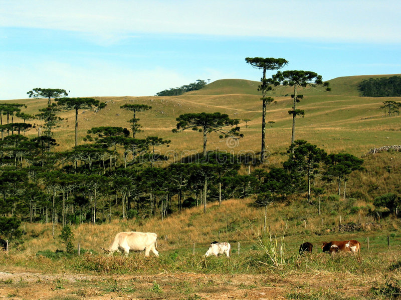 поле скотин стоковое фото rf