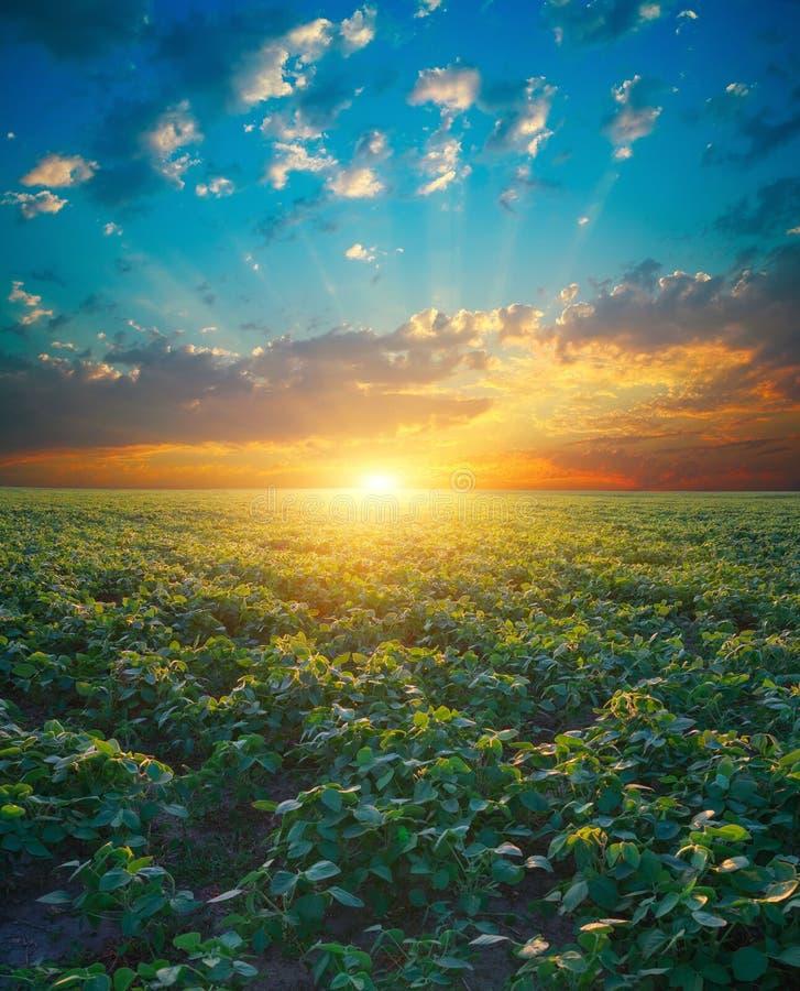 Поле сои, ландшафт земледелия стоковая фотография