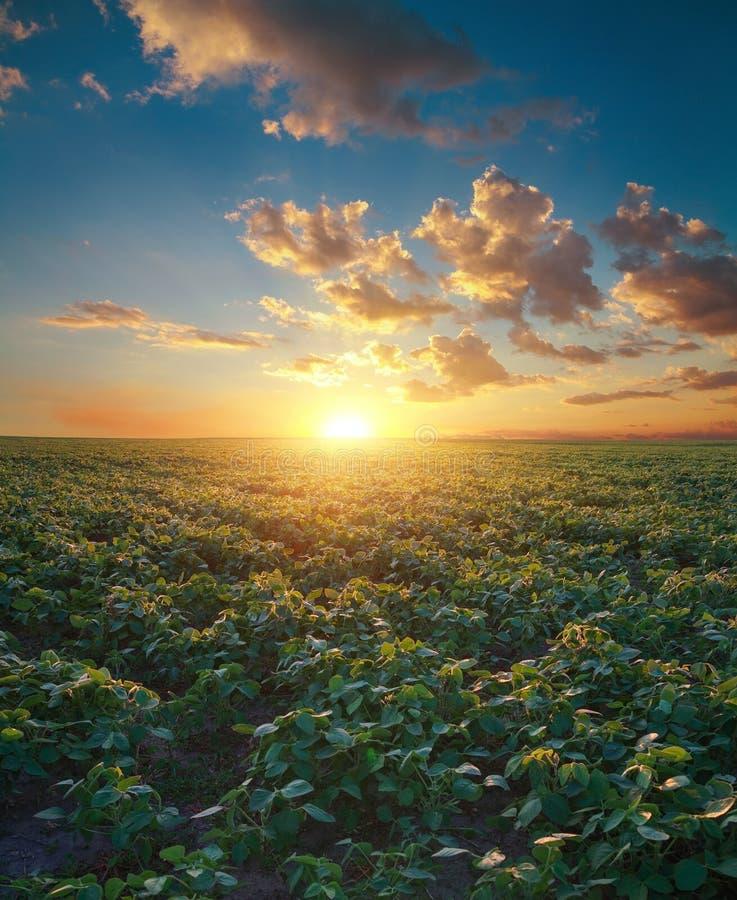 Поле сои, ландшафт земледелия стоковые фотографии rf