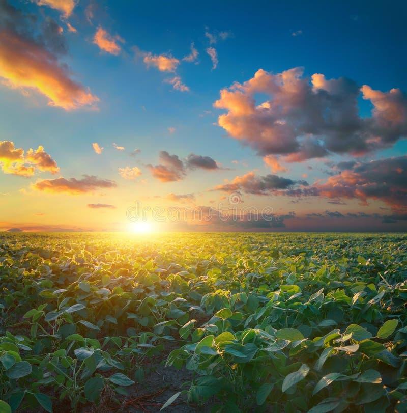 Поле сои, ландшафт земледелия стоковое изображение