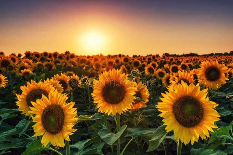 Поле солнцецвета на заходе солнца стоковые изображения rf