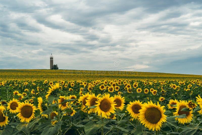 Поле солнцецвета на пасмурный день стоковое изображение rf
