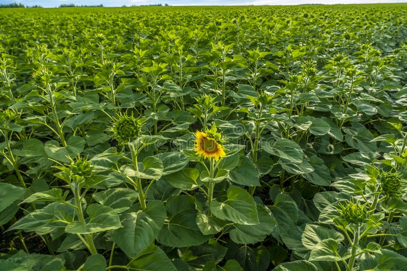 Поле солнцецвета, первый раскрытый цветок на поле зеленых бутонов солнцецвета стоковая фотография