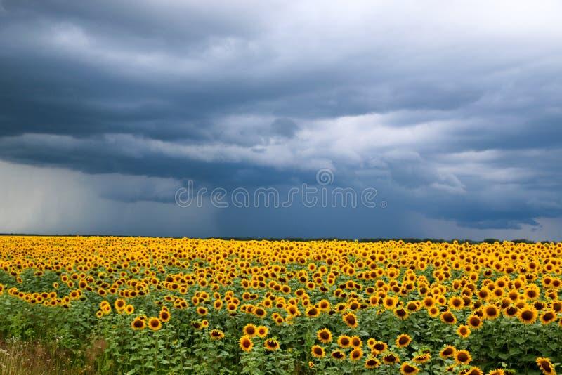 Поле солнцецвета против бурной предпосылки неба стоковые изображения rf