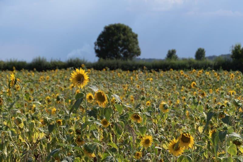 Поле солнцецвета с голубым небом и деревьями стоковые изображения