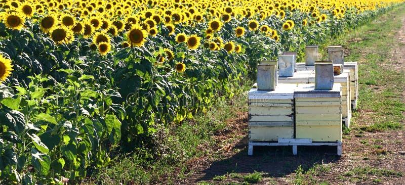 картинки пасека пчелы в поле подсолнухов балтийском
