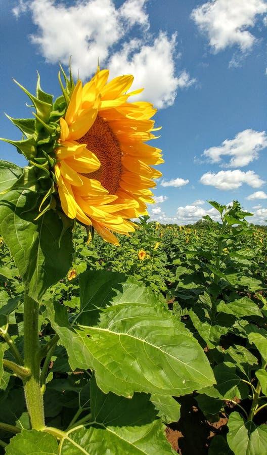 Поле солнцецвета - Kenosha, Висконсин стоковое изображение rf