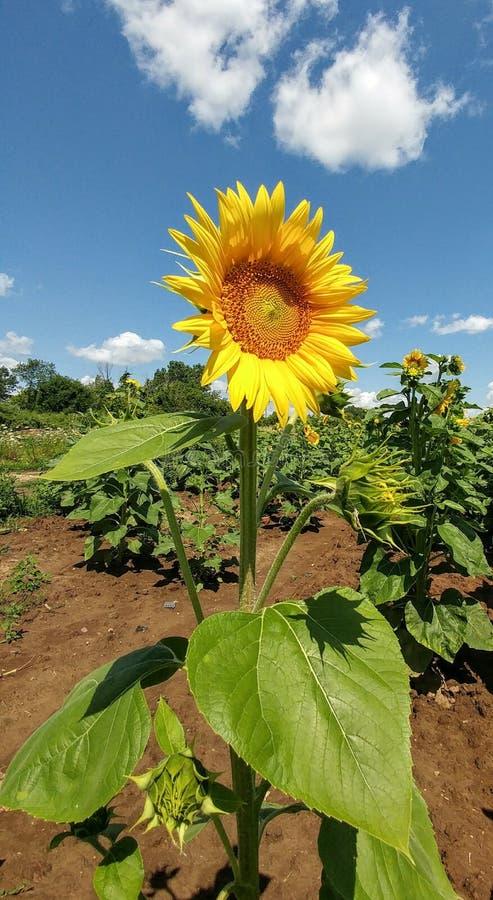 Поле солнцецвета - Kenosha, Висконсин стоковые фотографии rf