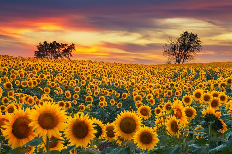Поле солнцецвета Midwest зацветая стоковая фотография rf