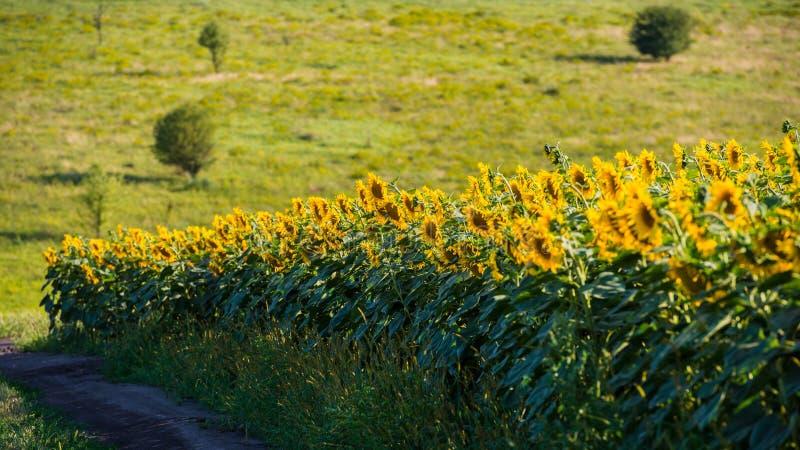 Поле солнцецветов и луга стоковые изображения