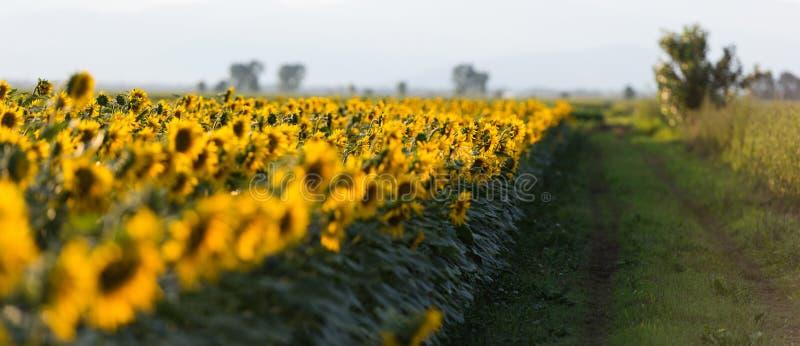 Поле солнцецветов на заходе солнца стоковое фото