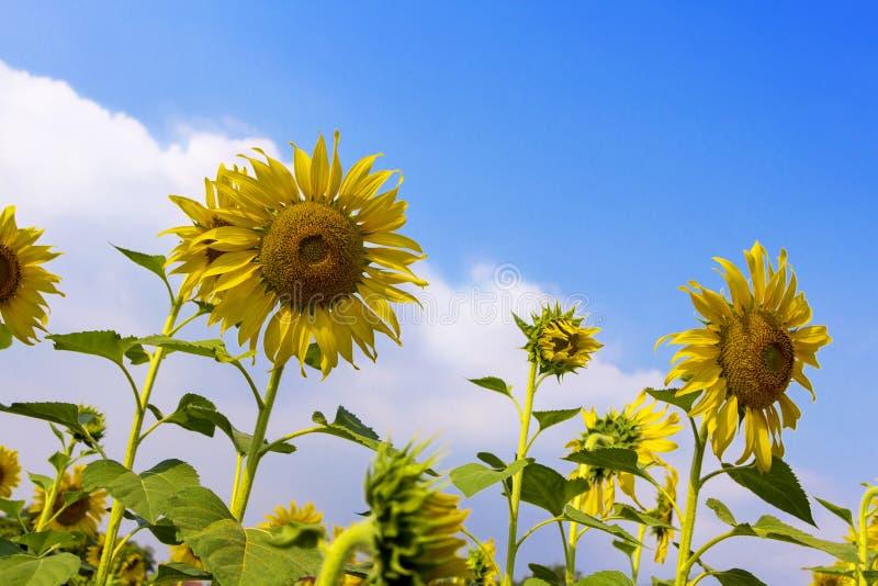 Поле солнцецветов с голубым небом и ярким солнечным светом стоковые изображения