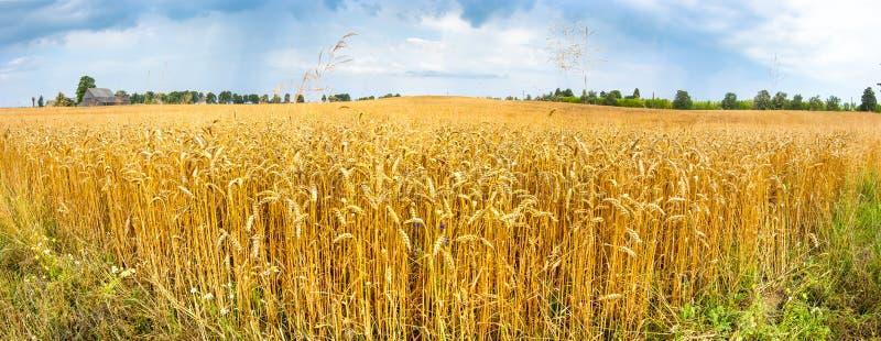 Поле с зрея пшеницей, Латвией стоковая фотография
