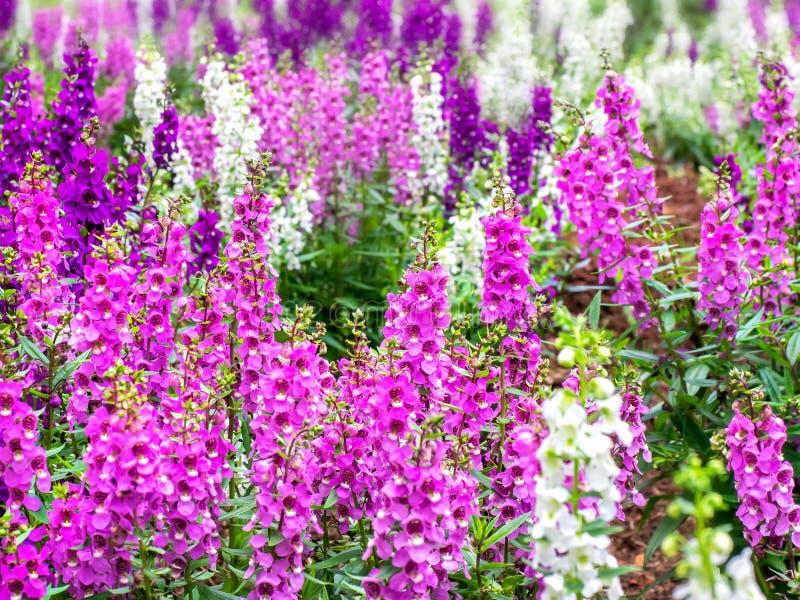 Поле с много цветков lavende стоковая фотография rf