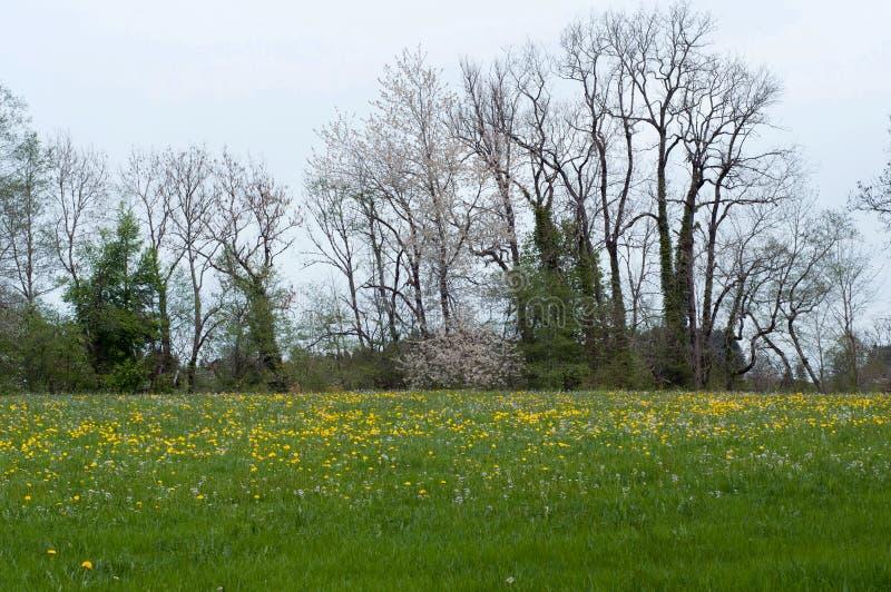 Поле с одуванчиками и деревьями на горизонте Зацветая деревья и одуванчики весной приурочивают стоковое фото rf