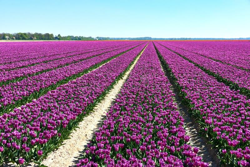 Поле с пурпурными тюльпанами в цветении в строках в Нидерланд стоковые фотографии rf