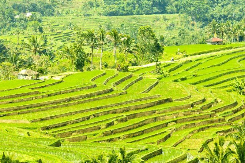 Поле террасы риса стоковые фотографии rf