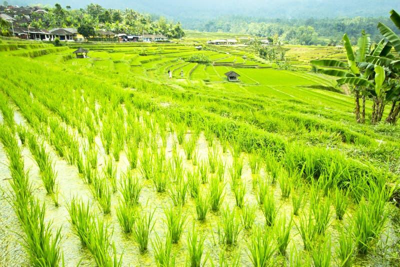 Поле террасы риса стоковое изображение rf